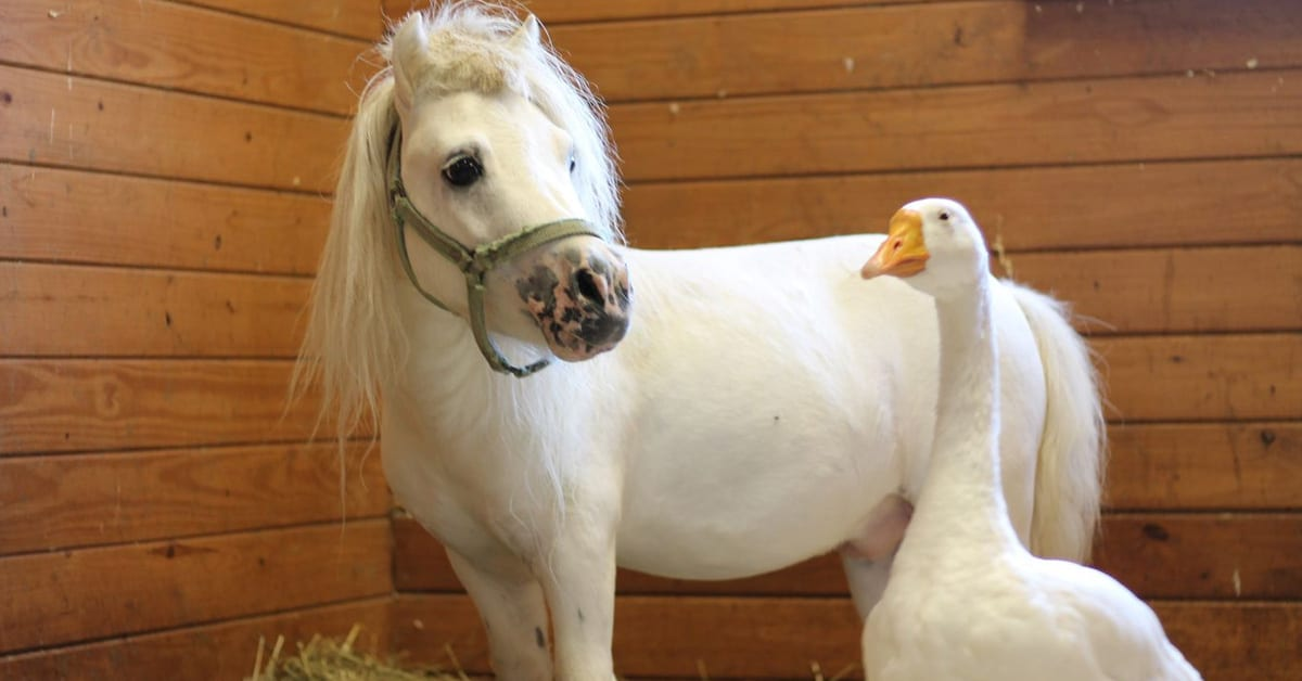 This rescued goose and mini horse who were adopted together share the sweetest friendship - my positive outlooks